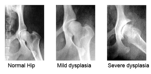 HAHD_hip-dysplasia-in-dogs