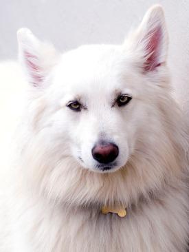 white wolf_2260177
